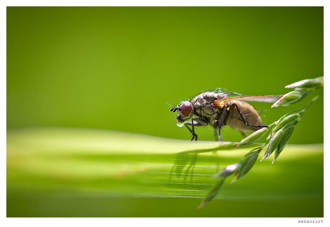 Durstige Fliege