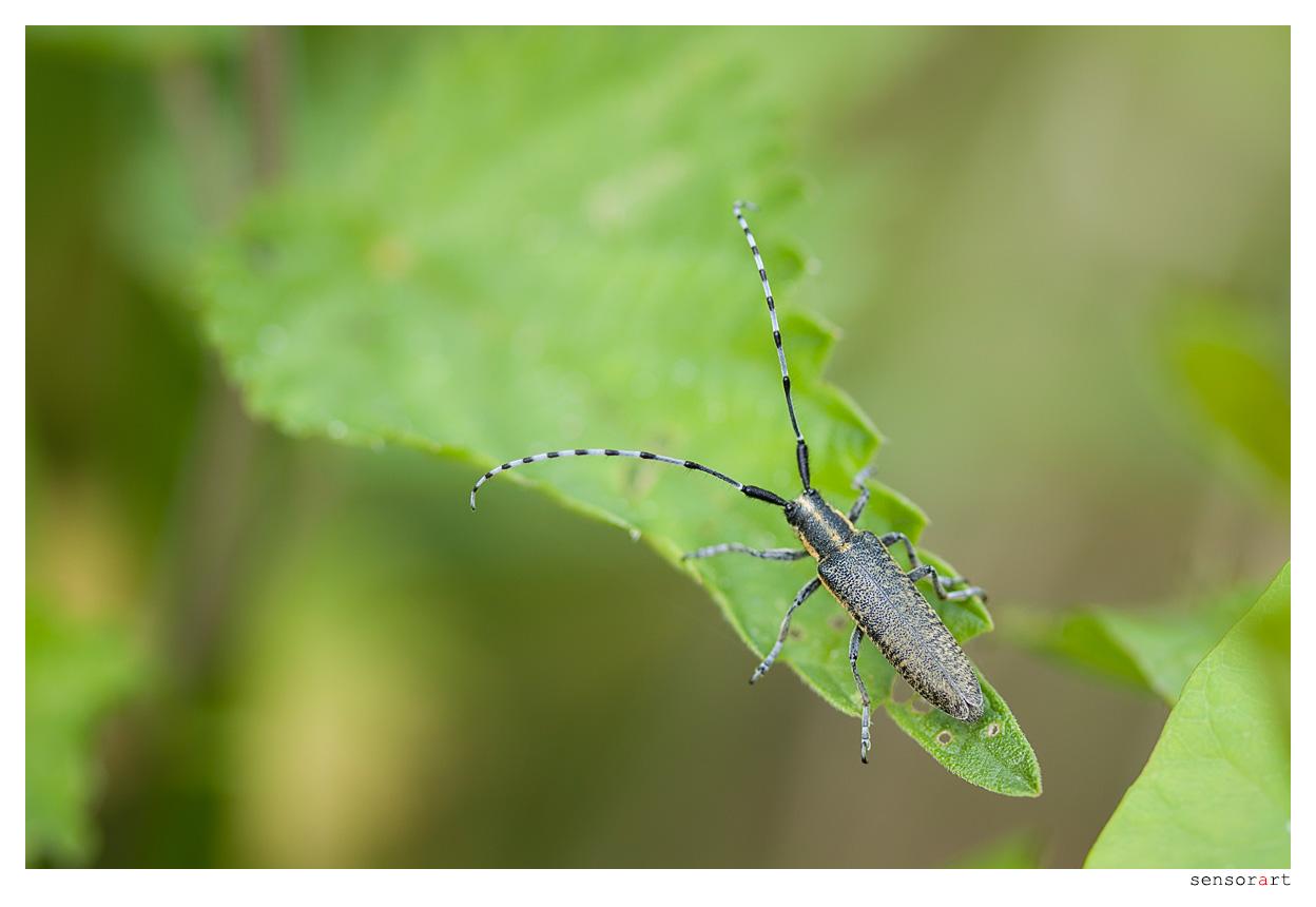 Distelbock (Agapanthia villosoviridescens) - I