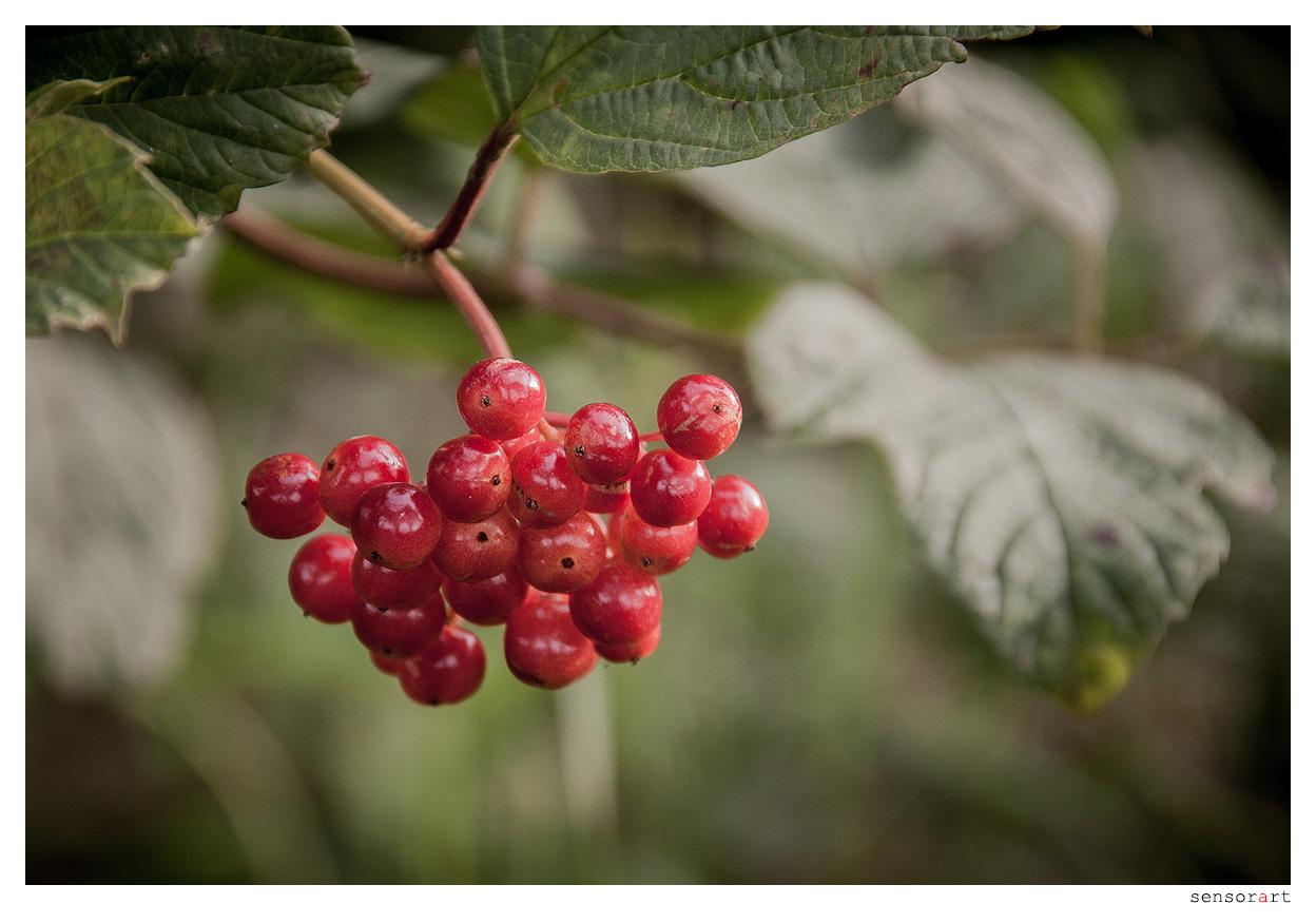 Rote Beeren - II